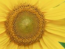 Paesaggio del fiore del girasole del ` s della Corea Immagine Stock Libera da Diritti