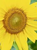 Paesaggio del fiore del girasole del ` s della Corea Immagine Stock