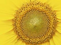 Paesaggio del fiore del girasole del ` s della Corea Immagini Stock