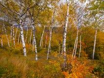 Paesaggio del fogliame dell'albero di betulla Fotografia Stock