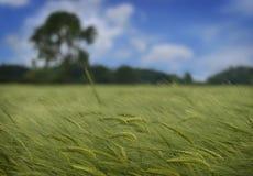 Paesaggio del frumento Fotografie Stock