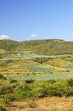 Paesaggio del giacimento del cactus dell'agave nel Messico Fotografia Stock