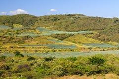 Paesaggio del giacimento del cactus dell'agave nel Messico Immagini Stock