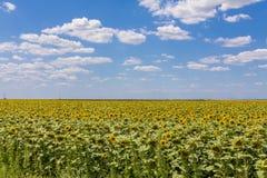 Paesaggio del giacimento del girasole con cielo blu Fotografia Stock Libera da Diritti