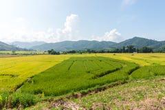 Paesaggio del giacimento del riso, area di agricoltura in Tailandia Immagine Stock