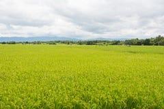 Paesaggio del giacimento del riso sulla montagna, distretto Phetchabun P di Khao Kho Fotografie Stock