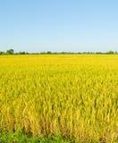 Paesaggio del giacimento del riso in Tailandia Immagini Stock