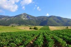 Paesaggio del giacimento della patata fotografia stock