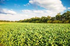 Paesaggio del giacimento della soia verde Immagine Stock Libera da Diritti