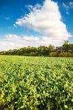 Paesaggio del giacimento della soia verde Fotografia Stock Libera da Diritti