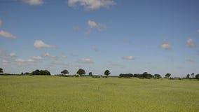 Paesaggio del giacimento di grano rurale di agricoltura ed automobili sulla strada archivi video