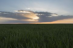 Paesaggio del giacimento di grano verde nell'ambito del tramonto o dell'alba scenico Fotografia Stock
