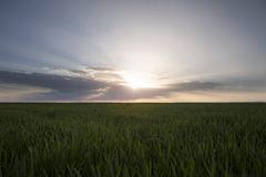 Paesaggio del giacimento di grano verde nell'ambito del tramonto o dell'alba scenico Fotografie Stock