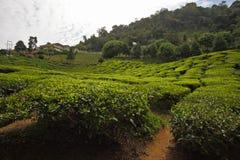 Paesaggio del giardino di tè Immagini Stock