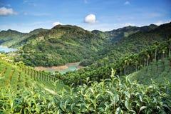 Paesaggio del giardino di tè Fotografie Stock Libere da Diritti