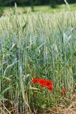 Paesaggio del grano con il papavero Fotografia Stock Libera da Diritti