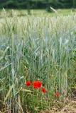 Paesaggio del grano con il papavero Fotografie Stock
