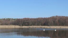 Paesaggio del lago nei nomi Wolzensee di Brandeburgo Coppie del cigno che nuotano intorno stormo degli uccelli della gru sul ciel stock footage