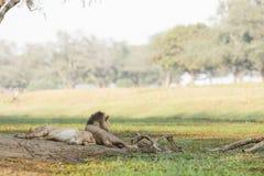 Paesaggio del leone Immagine Stock