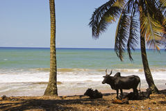 Paesaggio del Madagascar con i buoi Immagine Stock