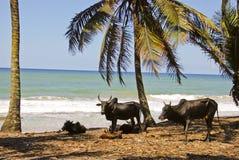 Paesaggio del Madagascar con i buoi Fotografie Stock