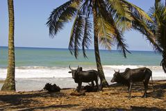 Paesaggio del Madagascar con i buoi Immagini Stock Libere da Diritti