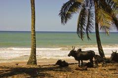 Paesaggio del Madagascar con i buoi Fotografia Stock