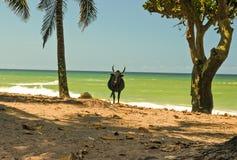 Paesaggio del Madagascar con il bue Immagini Stock
