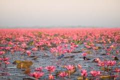Paesaggio del mare rosso famoso del loto in Tailandia Fotografia Stock