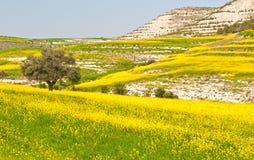 Paesaggio del prato con di olivo solo Immagine Stock Libera da Diritti