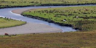Paesaggio del prato con il fiume - le mucche mangia l'erba verde Fotografia Stock Libera da Diritti