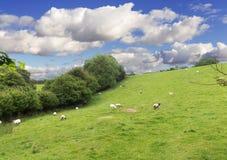 Paesaggio del prato di Idillic con le pecore, agnelli, ram Fotografia Stock