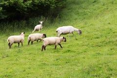 Paesaggio del prato di Idillic con le pecore, agnelli, ram Fotografia Stock Libera da Diritti