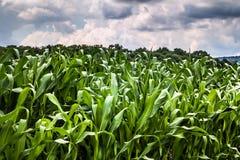 Paesaggio del primo piano del campo di grano Immagini Stock Libere da Diritti
