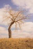 Paesaggio del ritratto di Bent Tree nel pascolo Fotografia Stock Libera da Diritti