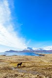 Paesaggio del ` s dell'Islanda con un cavallo islandese immagine stock libera da diritti