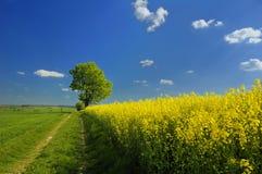 Paesaggio del seme di ravizzone Immagine Stock