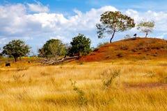 Paesaggio del suolo delle mucche in rosso in Cuba Fotografie Stock