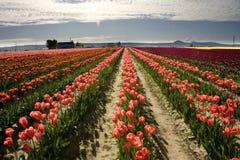 Paesaggio del tulipano Fotografia Stock