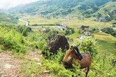 Paesaggio del villaggio in valle con la capra Fotografia Stock Libera da Diritti