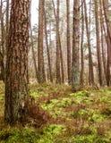 Paesaggio dell'abetaia, Polonia del Nord immagini stock libere da diritti