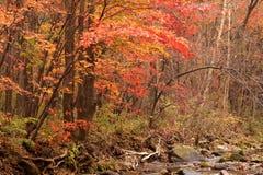 Paesaggio dell'acero di autunno Immagini Stock Libere da Diritti
