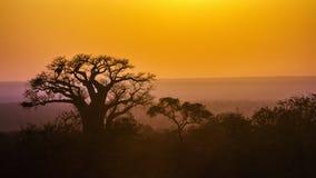 Paesaggio dell'albero del baobab nel parco nazionale di Kruger, Sudafrica Fotografia Stock