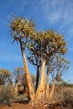 Paesaggio dell'albero del fremito - Sudafrica Fotografia Stock