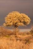 Paesaggio dell'albero del knobthorn dei nigrescens dell'acacia fotografia stock libera da diritti