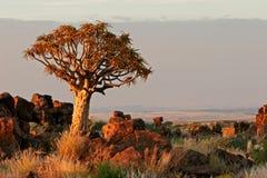Paesaggio dell'albero della faretra Immagini Stock