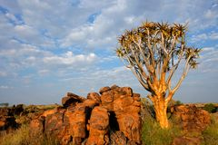 Paesaggio dell'albero della faretra, Namibia Immagini Stock
