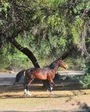 Paesaggio dell'Arizona con i cavalli selvaggii del fiume Salt fotografia stock
