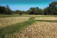 Paesaggio dell'azienda agricola del riso immagini stock