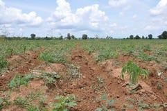 Paesaggio dell'azienda agricola della manioca Fotografia Stock